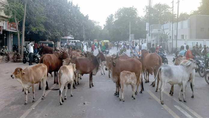 jamnagar-cow